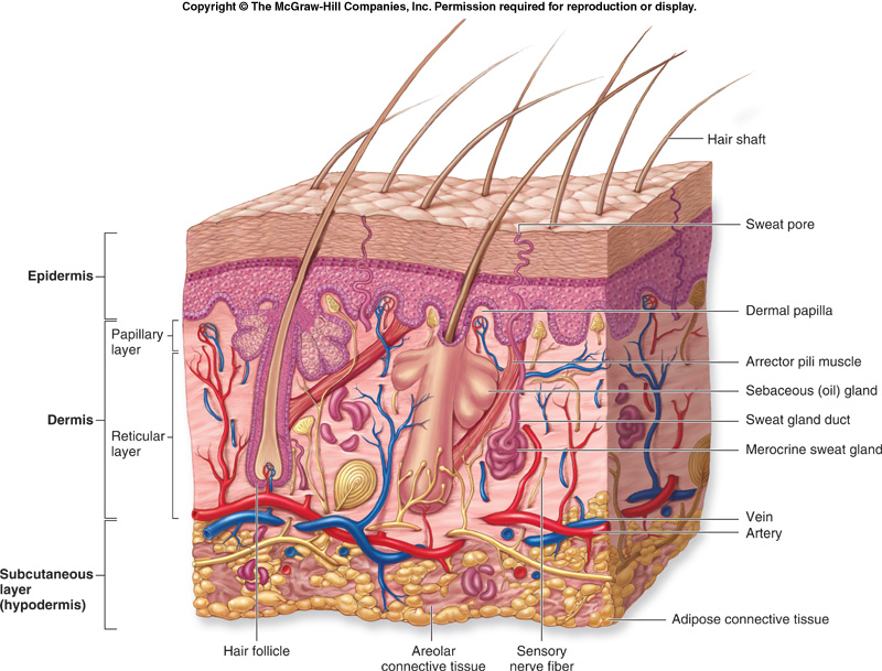 Diagrams  The integumentary system