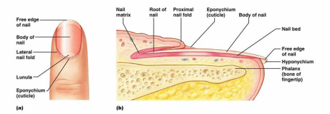 integumentary system diagram labeled xentec hid wiring diagrams the this is a of your nail