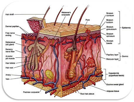 integumentary system diagram labeled 2005 kawasaki brute force 750 wiring diagrams the this is a of your skin