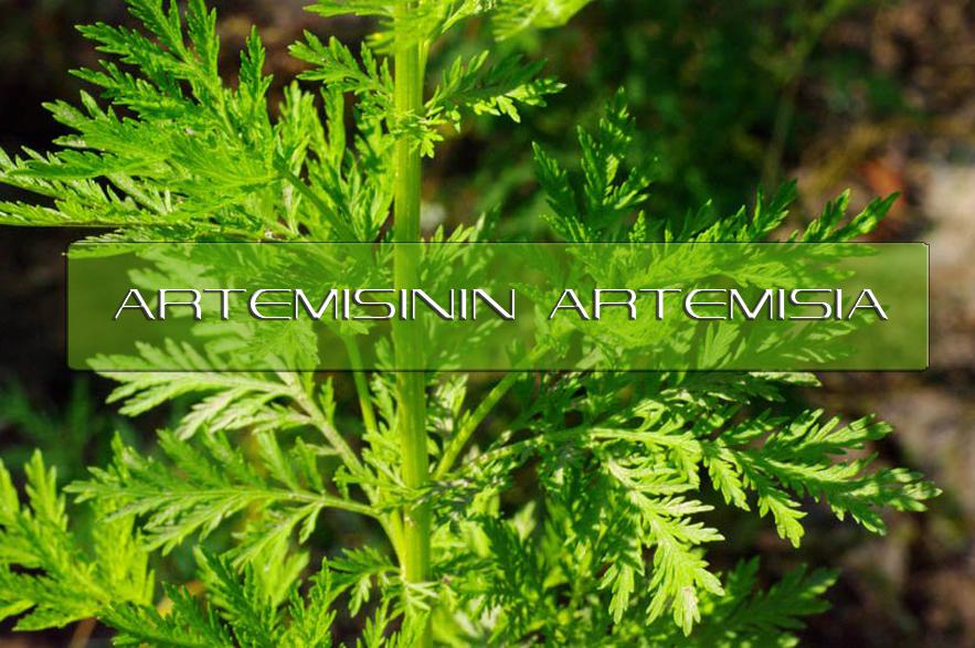 Benefits of Artemisinin Artemisia  Interstellar Blends