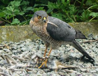 Euresian Sparrowhawk
