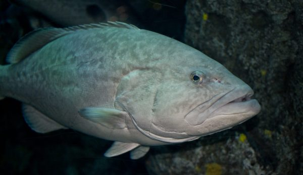 Gag Grouper Near Structure.