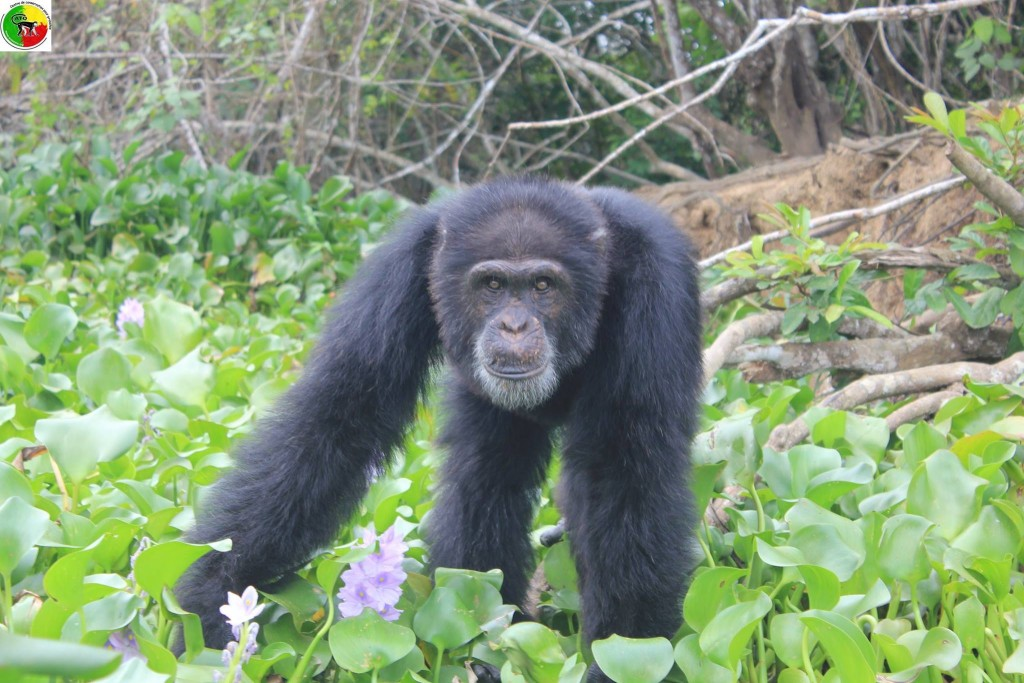 Emergency Crew Aids Sole Survivor Of Chimp Colony In Ivory