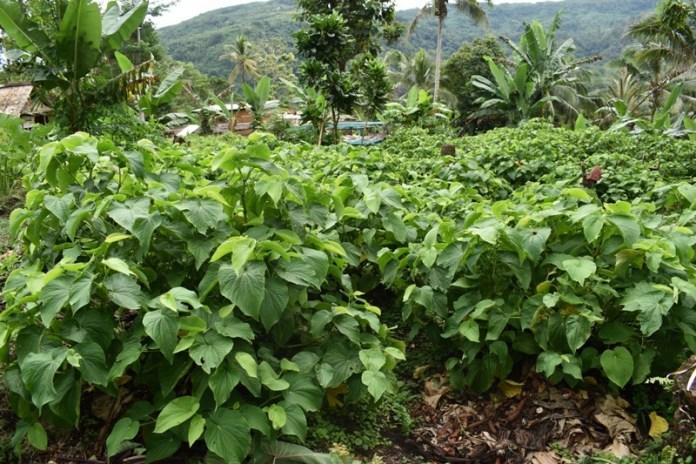Kava Farm in Malaita