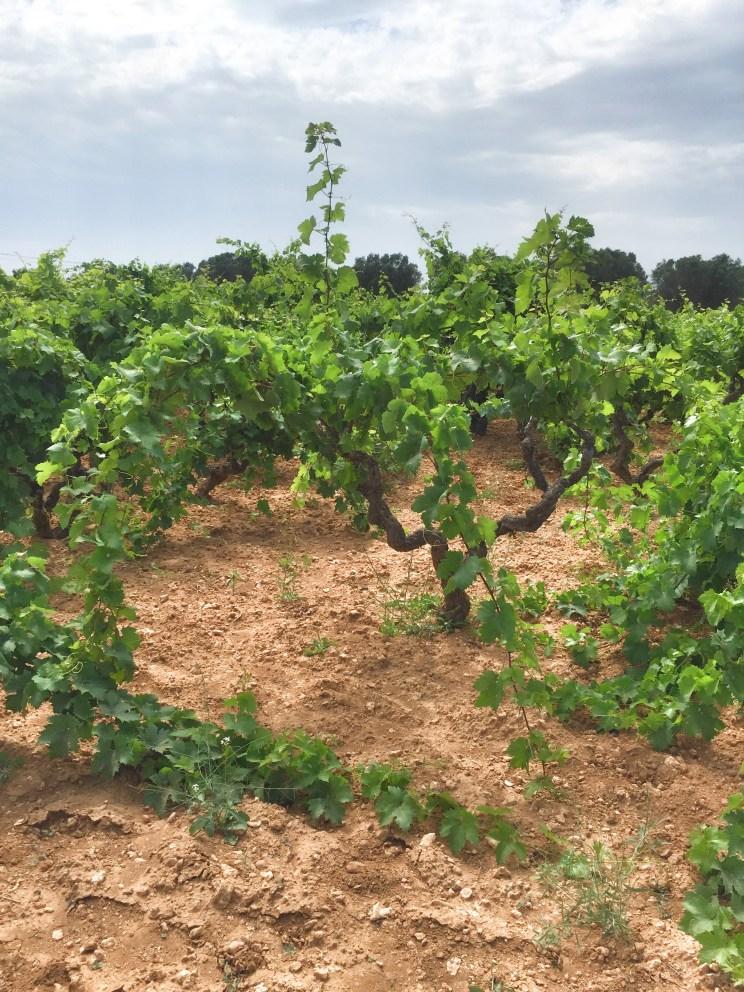 Gianfranco Fino, Primitivo vines, Salento, Puglia