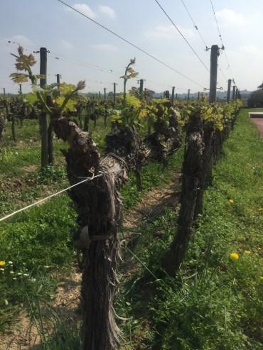 Santa Cristina old vineyards