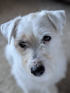 Jack Russell Terrier Breed Info