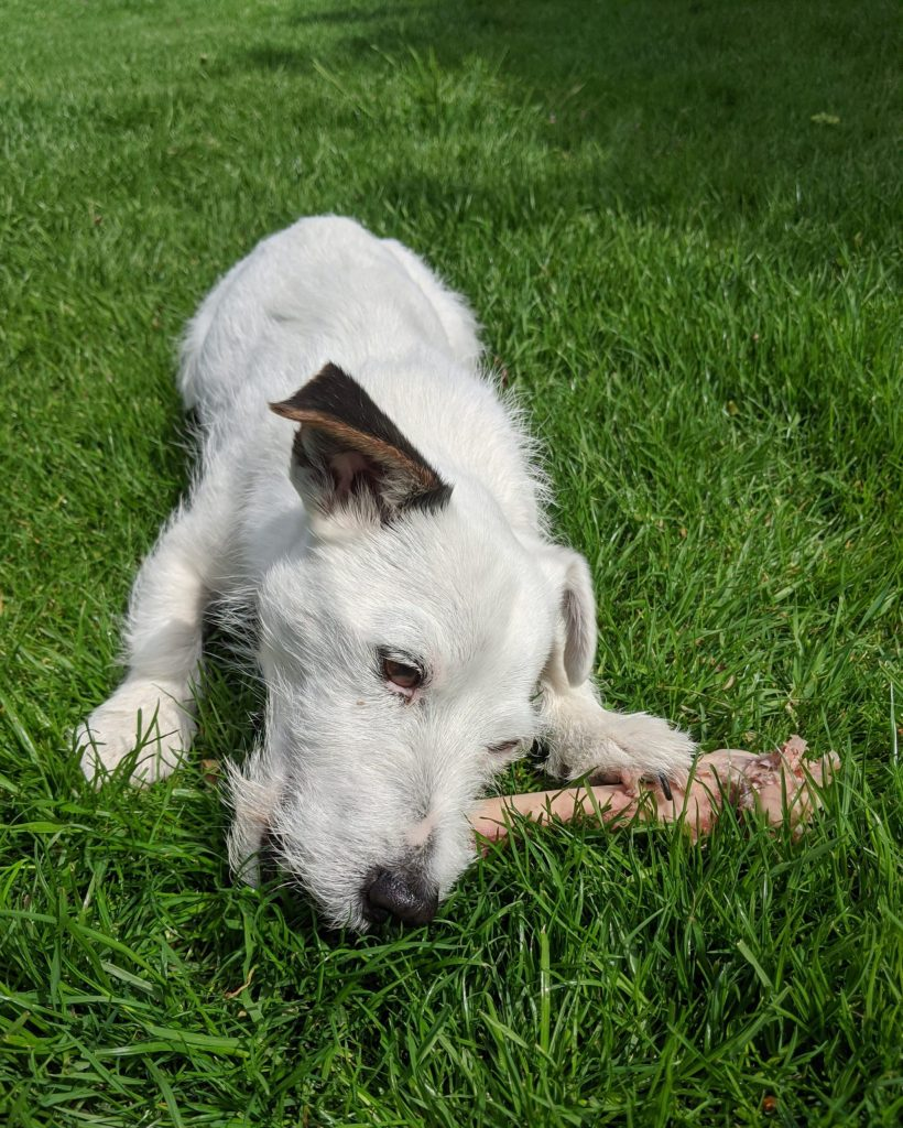 What is the best food for Jack Russell Terrier UK