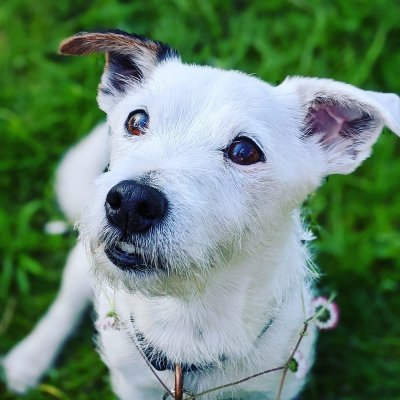 The Jack Russell Blog