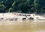 Water buffalo!!
