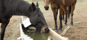 Horses at trough