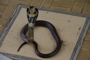 Cobra @ Bangkok Snake Farm
