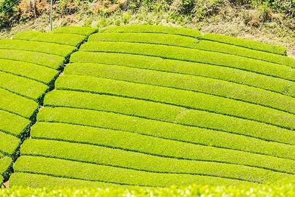 Japanease tea fields