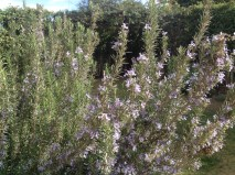 A mass of pale lilac: the rosemary that dominates one corner of the lawn is in full flower, and attracts insects by the score.