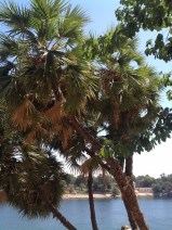 ... Egypt's own Dom palm, whose fruits have been found in tombs from almost 5,000 years ago...