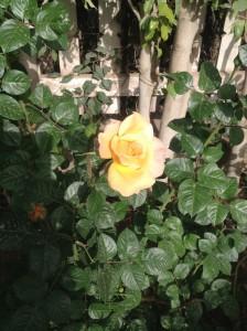 Rose yellow pink blush 4.1656
