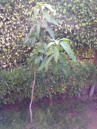 Mango sapling