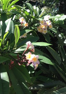 A frangipani to die for!