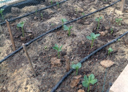 Broad beans up and away