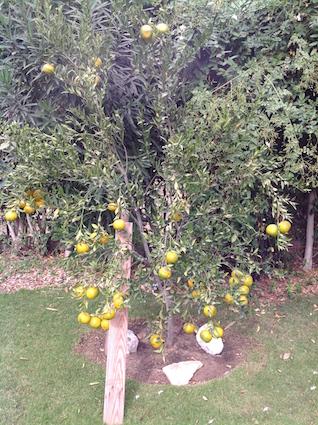 Satsuma tree heavy with fruit
