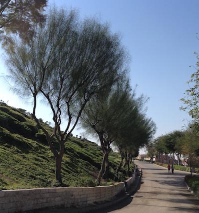 Parkinsonia aculeata trees