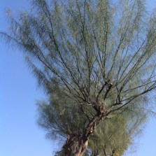 Parkinsonia's green stems