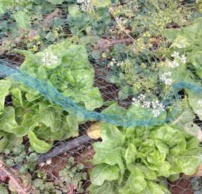 Lettuce coriander cress 3.17