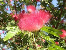 Calliandra blossom