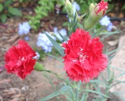 Carnation blooms