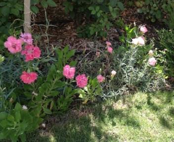 Carnation:pink mix