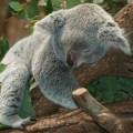 koala - Why visit australia - http://thejerny.com