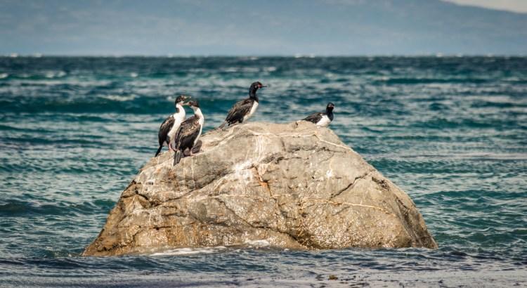 """Fake Penguins"" aka Magellanic Cormorants"