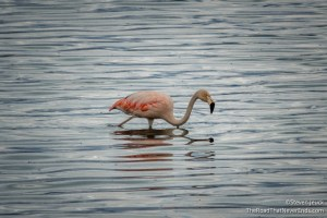 Flamingo on Lake Argentine