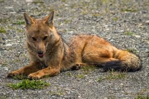 Fox, Los Glaciers NP