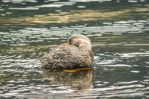 Reef Goose