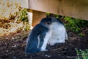Blue Penguins, Nobbies Centre