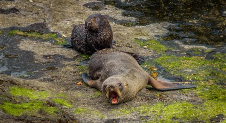 """Fur Seals, """"Kekeno"""""""
