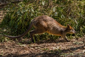 Wallaby, Koala Conservation Centre