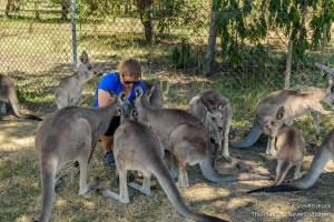 Feeding Kangaroos, Lone Pine Koala Sanctuary