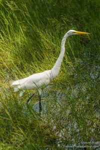 Great Egret at Wilderness Lodge
