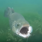 Awesome Underwater Strikes from Rainbow Trout