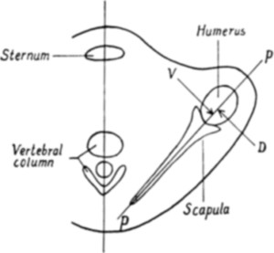 The Sensory Pathways from the Shoulder Joint in: Journal