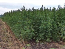 "America is the only ""developed"" country to outlaw hemp production."