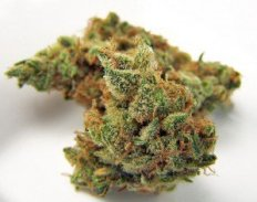 jilly-bean-medical-marijuana-weed-strain-thcf-jillybeanweed