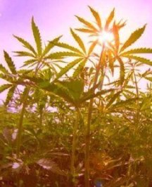 marijuana_ganga_sun