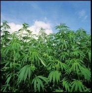Arizona Legislature Approves Measure to Legalize Hemp, Already Passed Senate