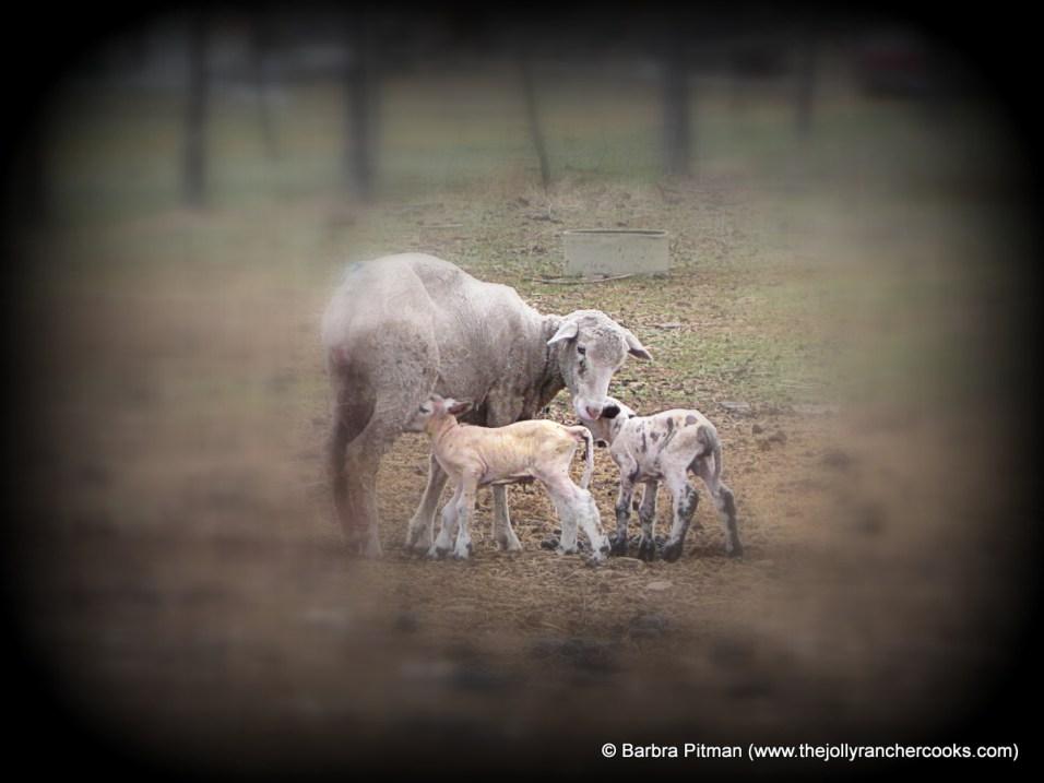 Lambing 2017