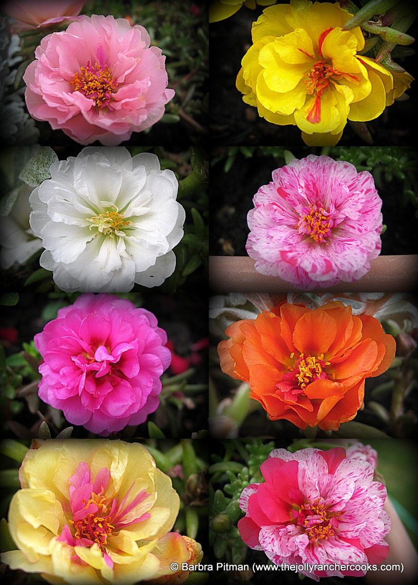 Moss Rose collage