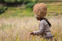 "16: An indigenous woman of Maligcong in Mountain Province places a batch of hand-harvested ""pagay"" or ripe rice on top of her head during the ""panag-gagapas"" or harvest season in the province."