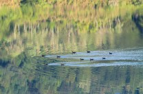 Migrating ducks are seen taking a swim at the operational tailings dam of a mining company in Makayan in Benguet.